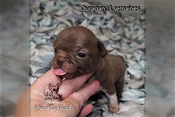 Chiot Chihuahua à 4 semaines