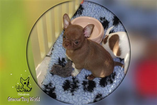 Chiot Chihuahua à 8 semaines