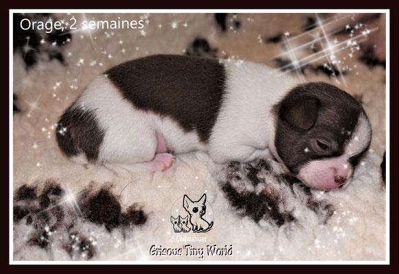 Chiot Chihuahua à 1 semaine