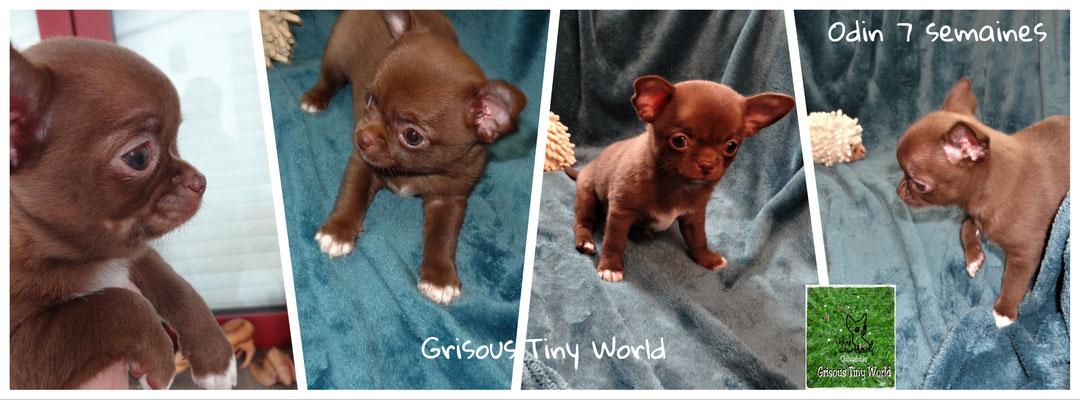 Odin, chiot Chihuahua chocolat
