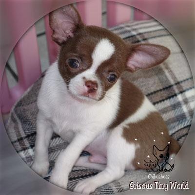 Orage, chiot Chihuahua à 8 semaines