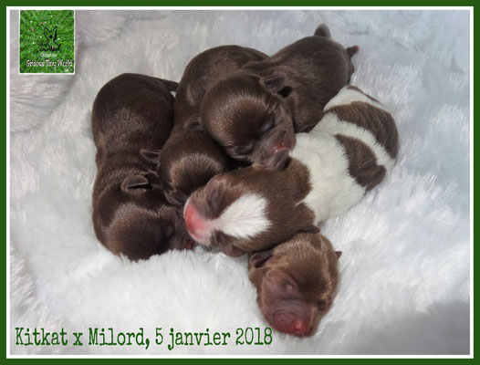 Portée de Chiots Chihuahuas à la naissance