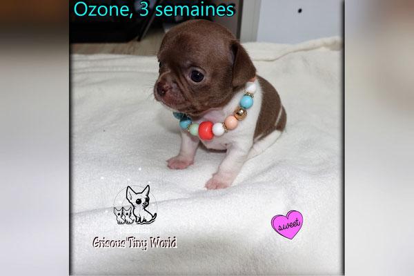 Chiot Chihuahua à 3 semaines