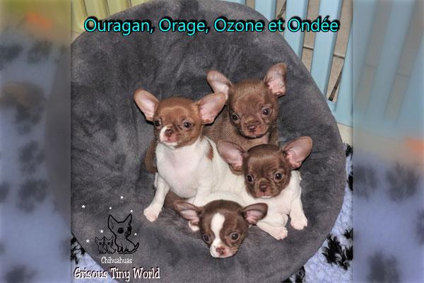 Portée de Chiots Chihuahua Chocolat à 8 semaines