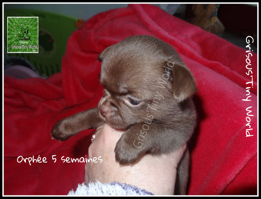 Chiot Chihuahua chocolat, chiot Chihuahua femelle
