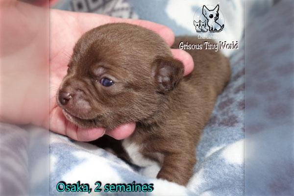Chiot Chihuahua à 2 semaines