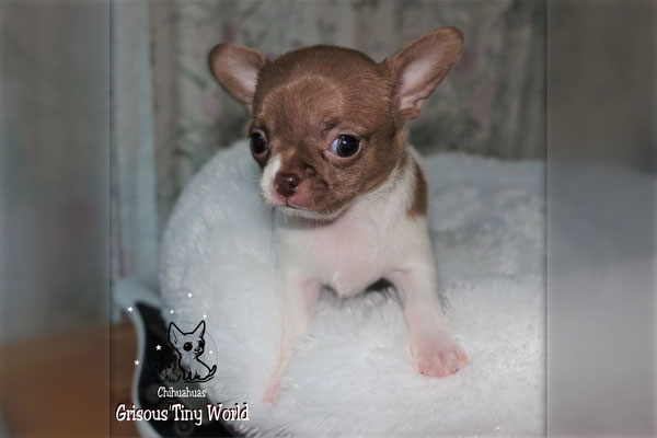 Chiot Chihuahua 4 semaines