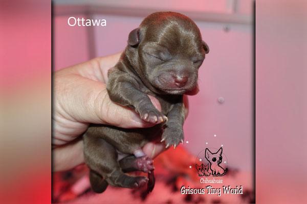 Chiot Chihuahua à la naissance