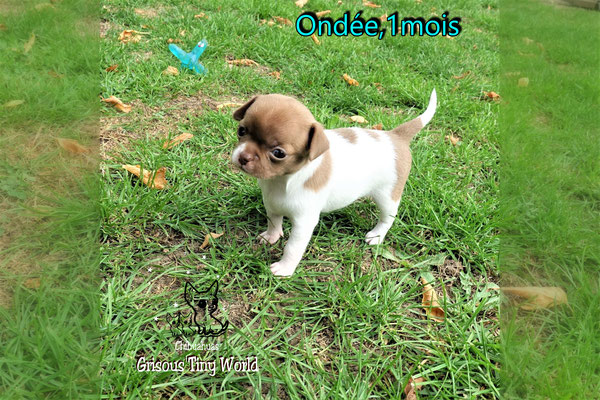 Chiot Chihuahua 1 mois