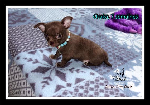 Chiot Chihuahua à 7 semaines, femelle Chihuahua, Chihuahua chocolat