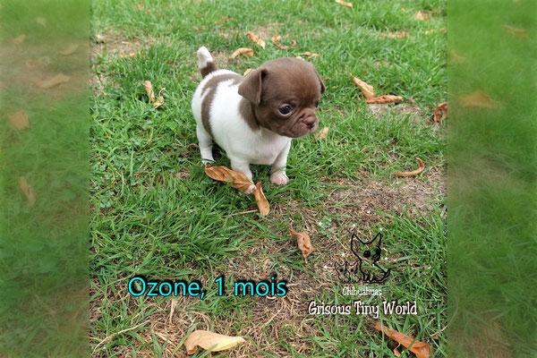 Chiot Chihuahua à 1 mois