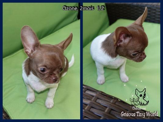 Ozone Chiot Chihuahua chocolat et blanc à 2 mois