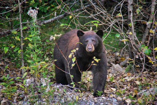 Blackbear at the edge of the road