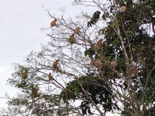 Gruppe Nasenaffen am Kinabatangan River, Sabah, Borneo, Malaysia