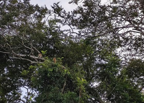 Nasenaffen am Kinabatangan River, Sabah, Borneo, Malaysia