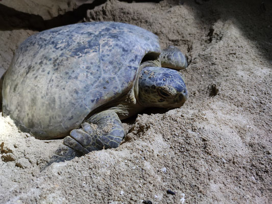 Grüne Meeresschildkröte auf Selingan Island, Sabah, Malaysia