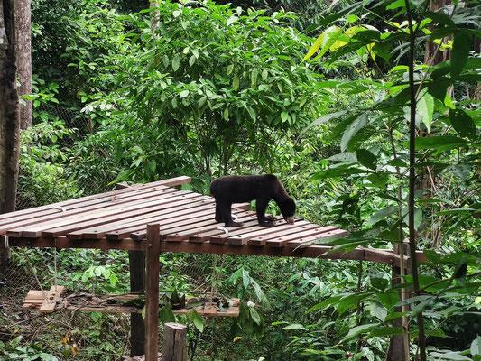 Malaienbär im Sun Bear Conservation Center, Sepilok, Sabah, Malaysia