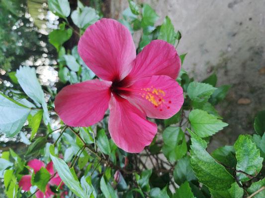 Blume auf Selingan Island, Sabah, Malaysia