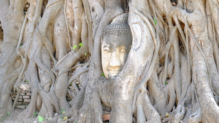 Eingewachsener Buddha in Ayutthaya