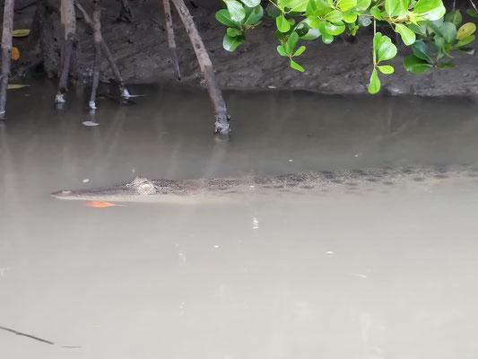 Krokodil bei der Bootstour auf dem Sungai Seguntor, Sandakan, Sabah, Malaysia