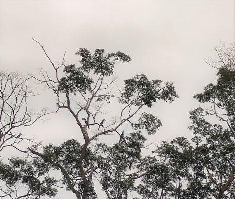 Nashornvögel am Kinabatangan River, Sabah, Borneo, Malaysia