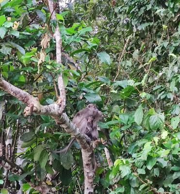 Langschwanzmakake mit Nachwuchs am Kinabatangan River, Sabah, Borneo, Malaysia
