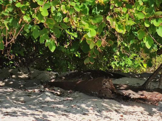 Waran auf Selingan Island, Turtle Islands, Sabah, Borneo, Malaysia