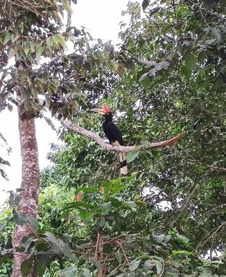 Nashornvogel am Kinabatangan River, Sabah, Borneo, Malaysia