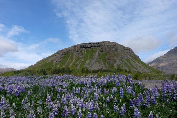 Lupinenfelder in den Ostfjorden
