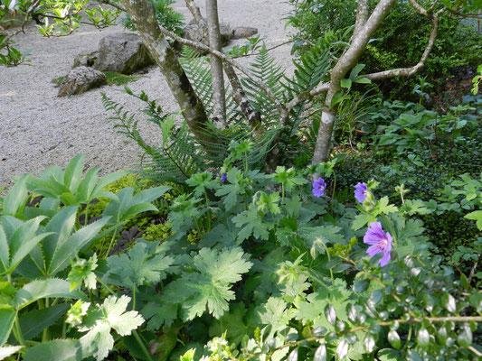 Geranium magnificum, Muehlenbeckia