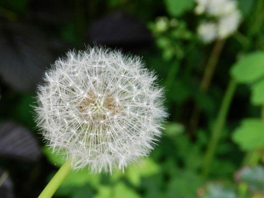Taraxacum officinal  - Pissenlit