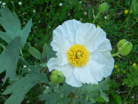 Romneya coulteri (Californie)