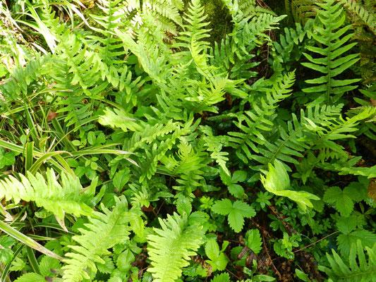 Polypodium vulgare, polypode, réglisse des bois