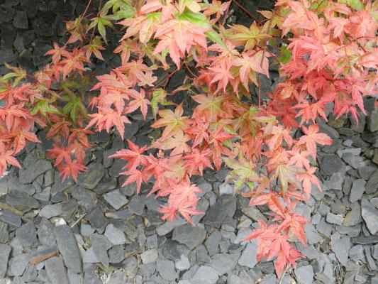 Acer palmatum 'Shindeshojo