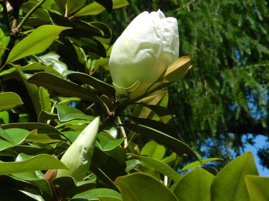 Magnolia grandiflora (Floride)