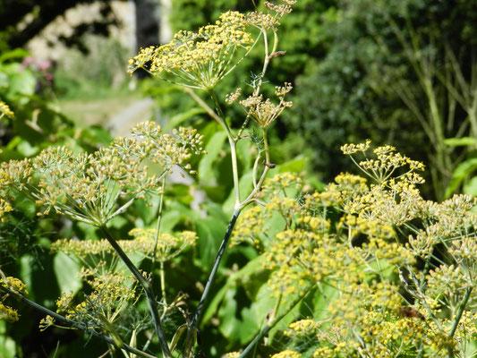 Foeniculum vulgare Purpureum - Fenouil