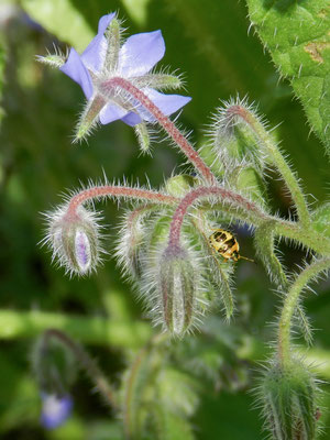 Borago officinalis - Bourrache