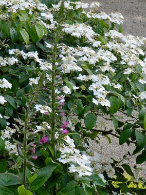 Viburnum plicatum Watanabe, Digitale pourpre