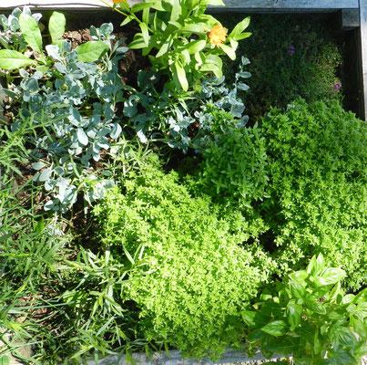 Estragon, basilic à petites, moyennes et grandes feuilles, mertensie maritime dite huitre végétale, soucis, thym serpolet