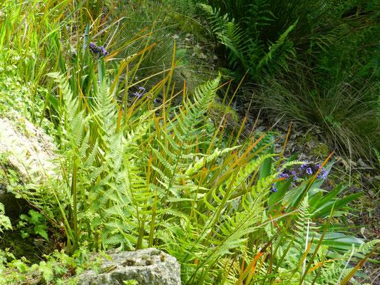 Dryopteris filix-mas, fougère mâle