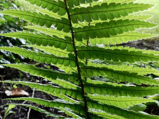 Dryopteris walichiana