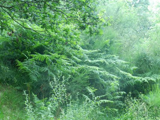 Quercus robur  Chêne pédonculé, Pteridium aquilinum Fougère aigle, Cytisus scoparius Genet à balai (indigènes)