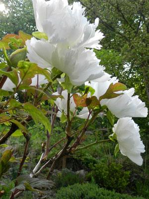 Paeonia suffruticosa 'Renkaku'