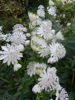 Astrantia major (du NO de l'Espagne au Caucase)