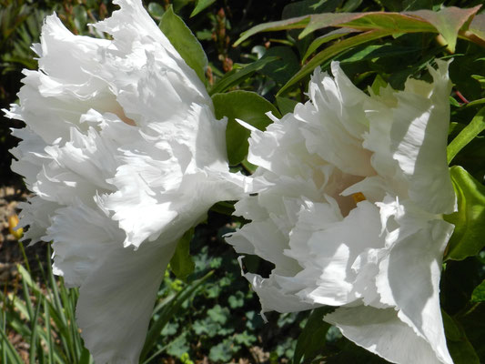 Paeonia suffructicosa 'Renkaku'