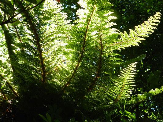 Polystichum setiferum (Europe Afrique du nord Caucase)