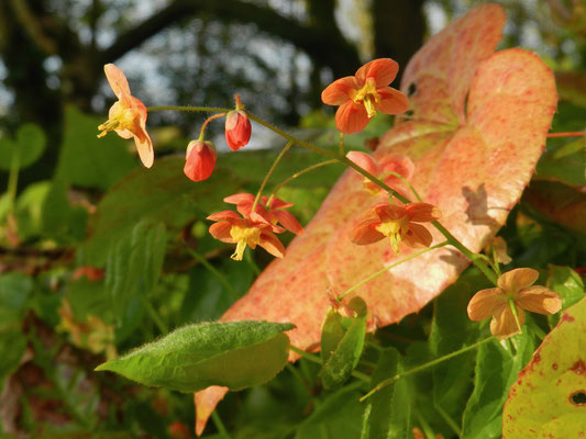 Epimedium warleyense 'Orange Königin'