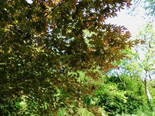 Acer palm. Nicholsonii