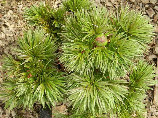 Paeonia plena tenuifolia