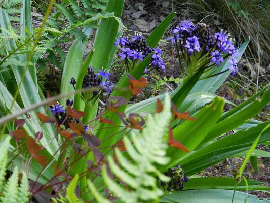 Euphorbia dulcis Chameleon, Scilla peruviana